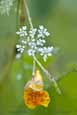 Queen Annes Lace and Jewelweed
